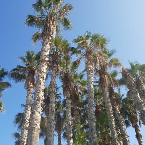 Palmen auf Kreta